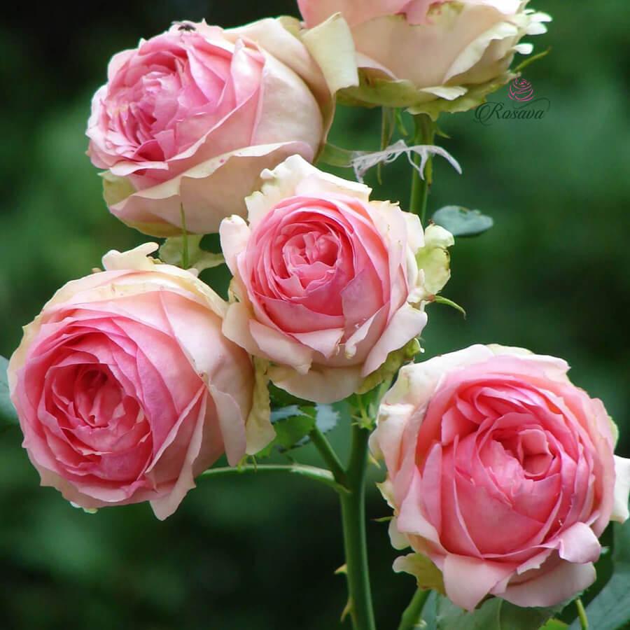 Hoa hồng leo ngoại First Lady rose
