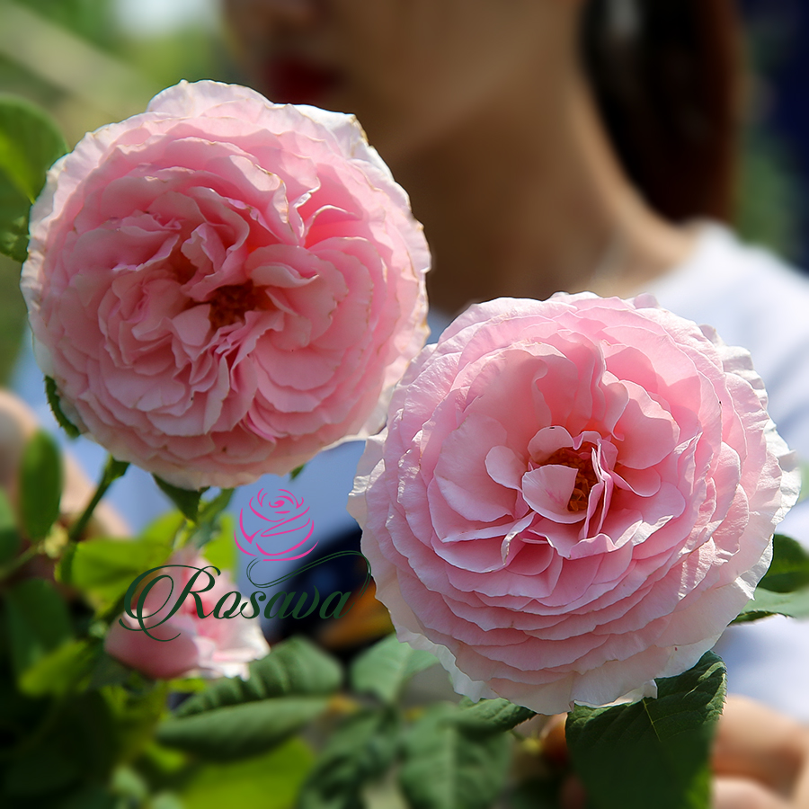 Hoa hồng leo ngoại Gartentraume rose