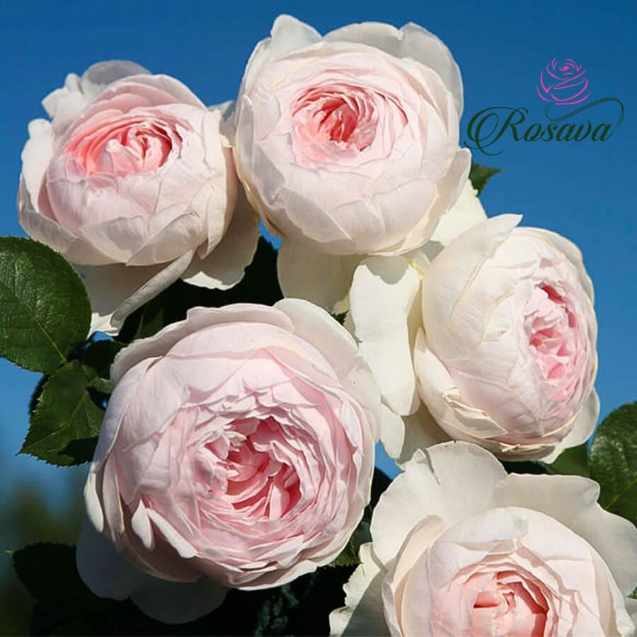 Hoa hồng leo ngoại Herzogin Christiana rose