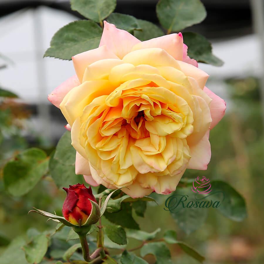Hoa hồng leo ngoại Kordes' Jubilee rose