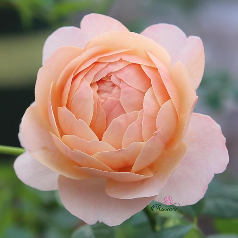 Hoa hồng leo Peter-Paul Rubens rose