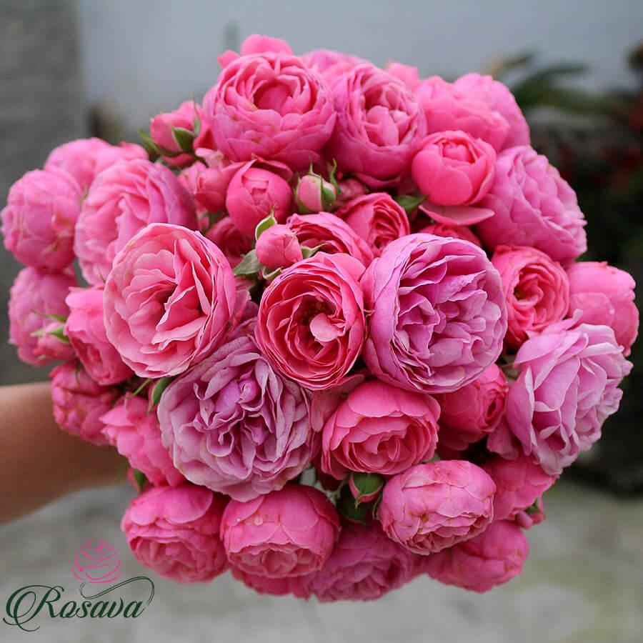 Hoa hồng leo Pomponella rose