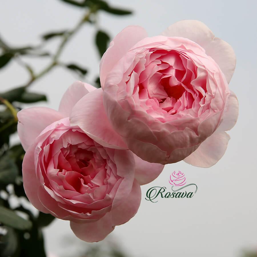 Hoa hồng Mon Coeur rose Nhật