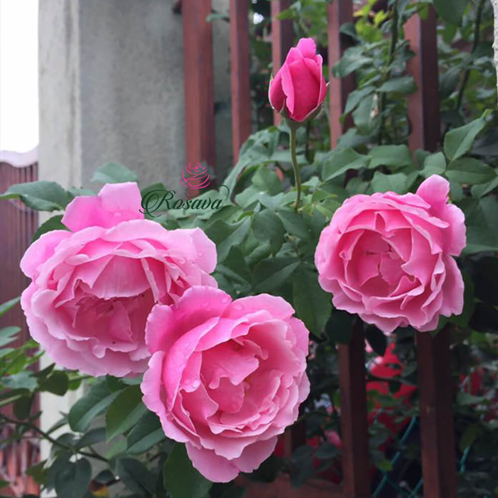 Hoa hồng leo Pháp Chant Rose Misato rose