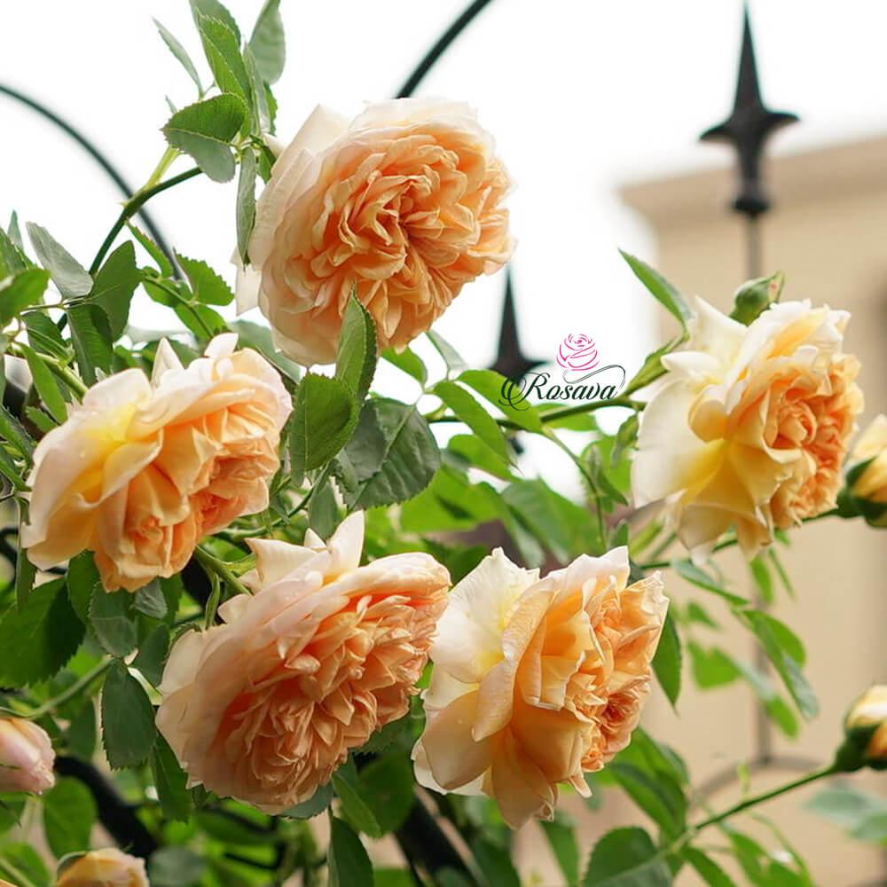 Hoa hồng leo Pháp Charles De Nervaux rose