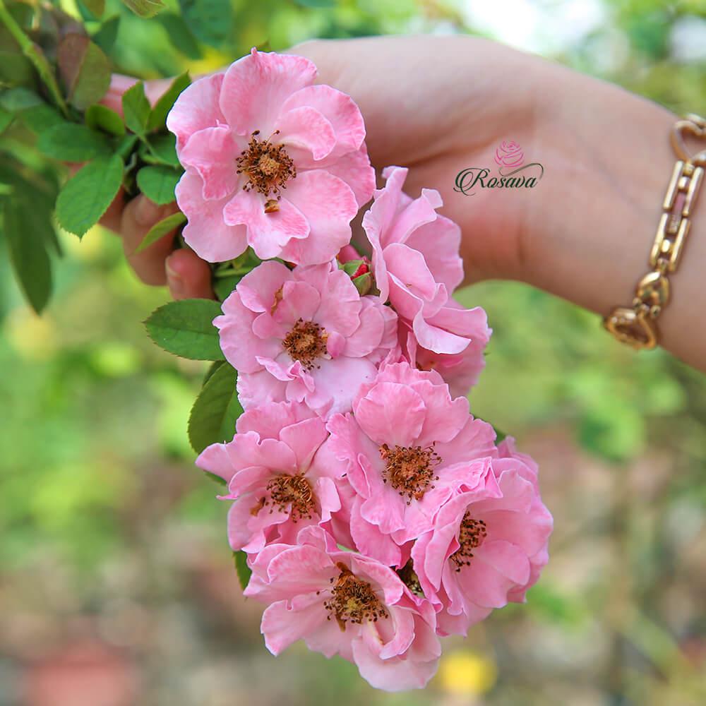 Hoa hồng leo Pháp Clair Matin rose