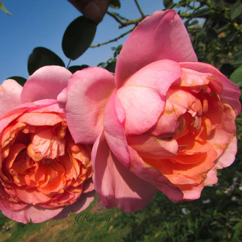 Hoa hồng leo Pháp Dames de Chenonceau rose