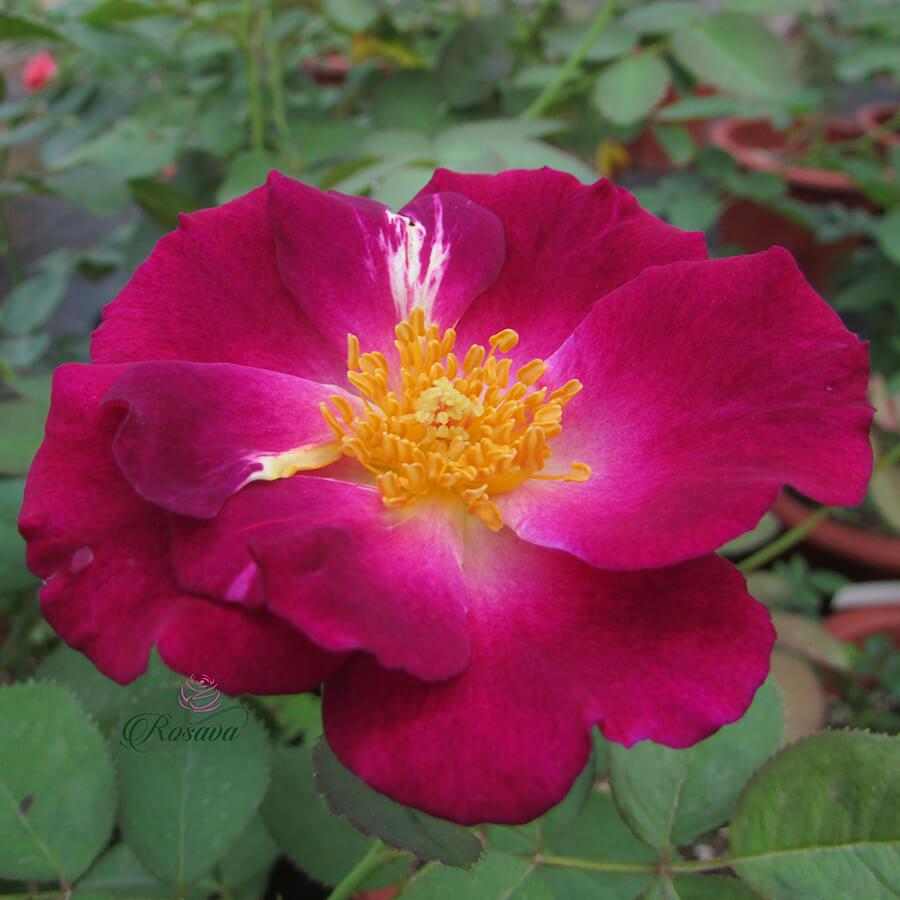 Hoa hồng leo Pháp Princess Sibilla De Luxembourg rose
