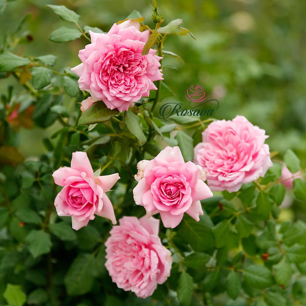 Hoa hồng leo Pháp Rose Pompadour rose