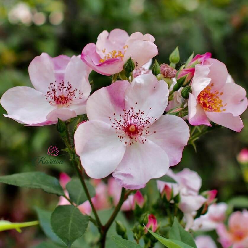 Hoa hồng leo Pháp Sweet Pretty rose