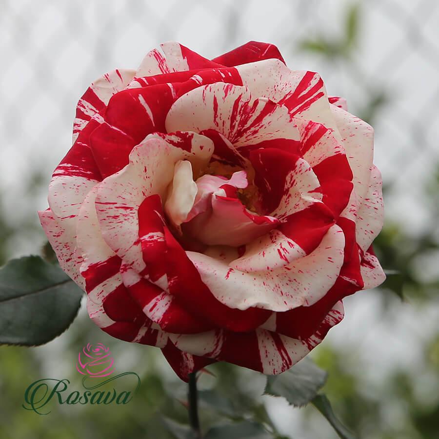 Hoa hồng Mỹ Rock & Roll rose
