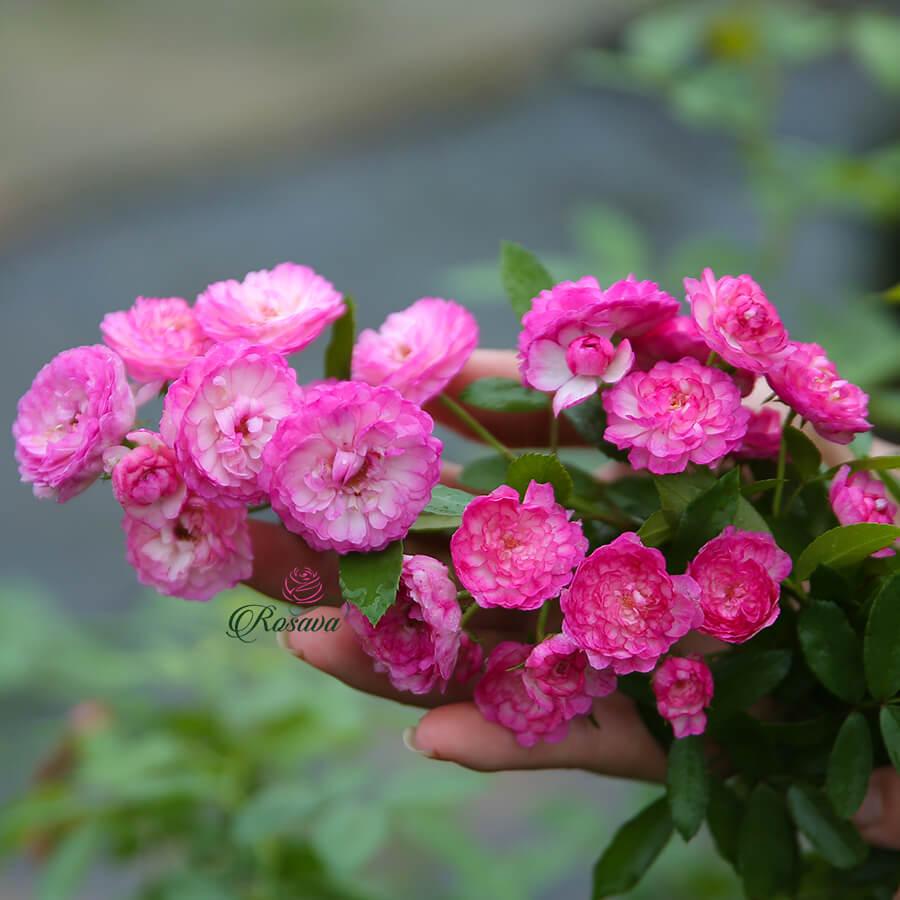 Hoa hồng Mỹ Vineyard Song rose