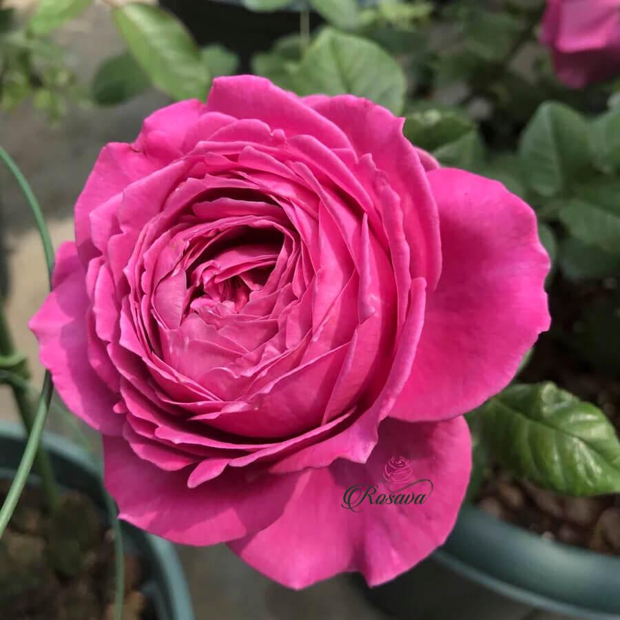 Hoa hồng nhập ngoại All For Love rose