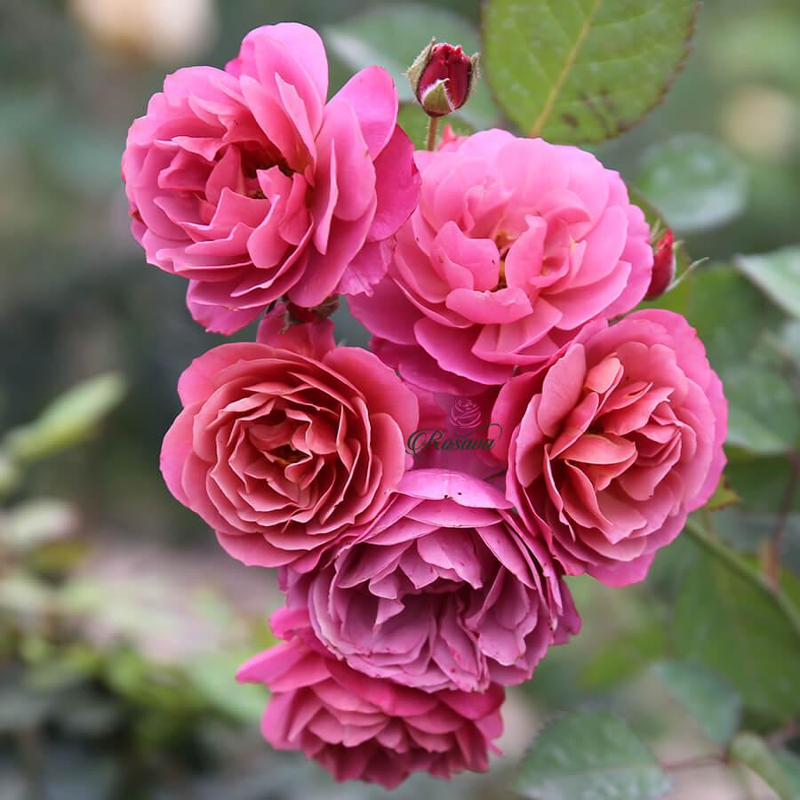 Hoa hồng ngoại Aoi rose