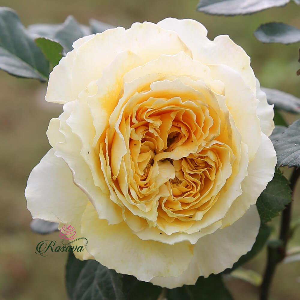Hoa hồng ngoại Beatrice rose