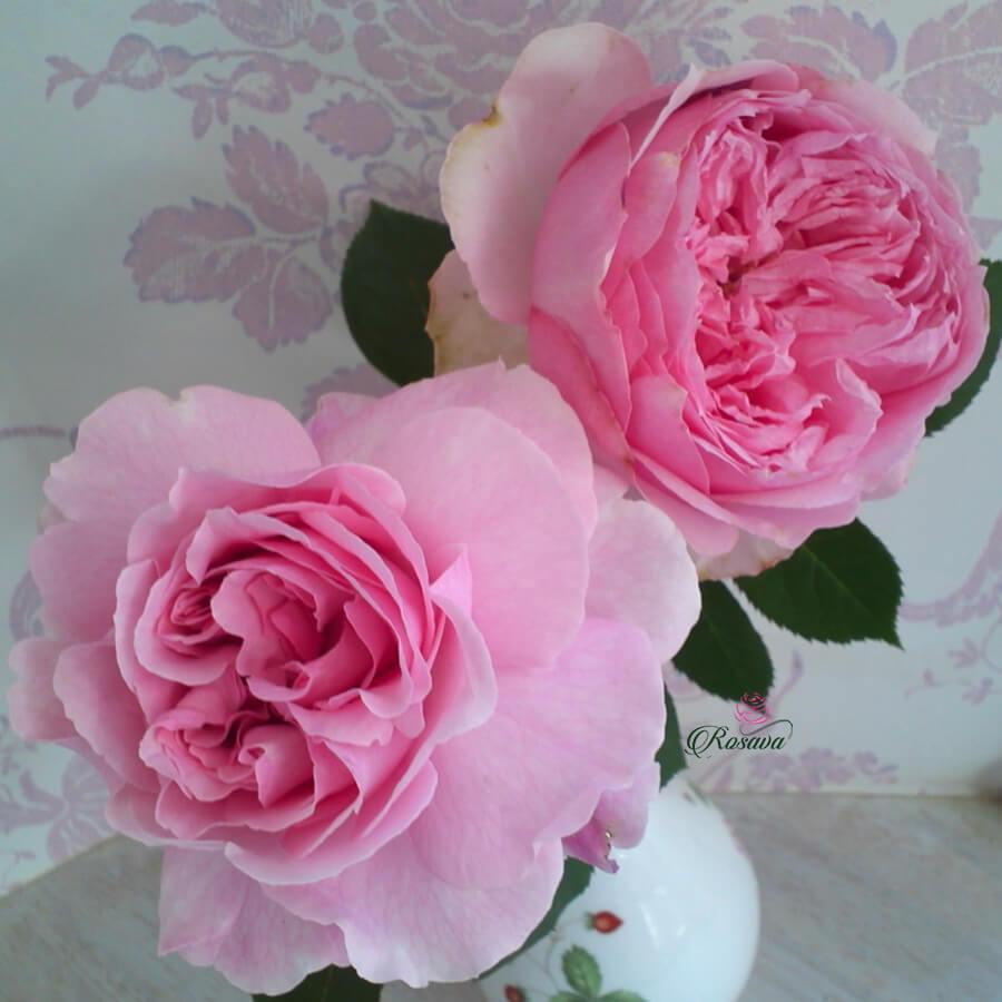 Hoa hồng Nhật Bel Canto rose