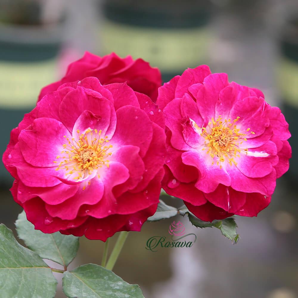 Hoa hồng Mỹ Blue Eden rose
