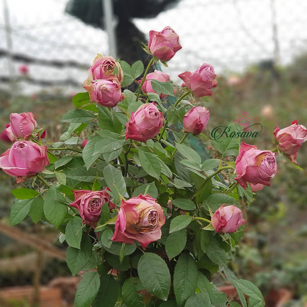 Hoa hồng New ZeaLand Blue Millfeuille rose