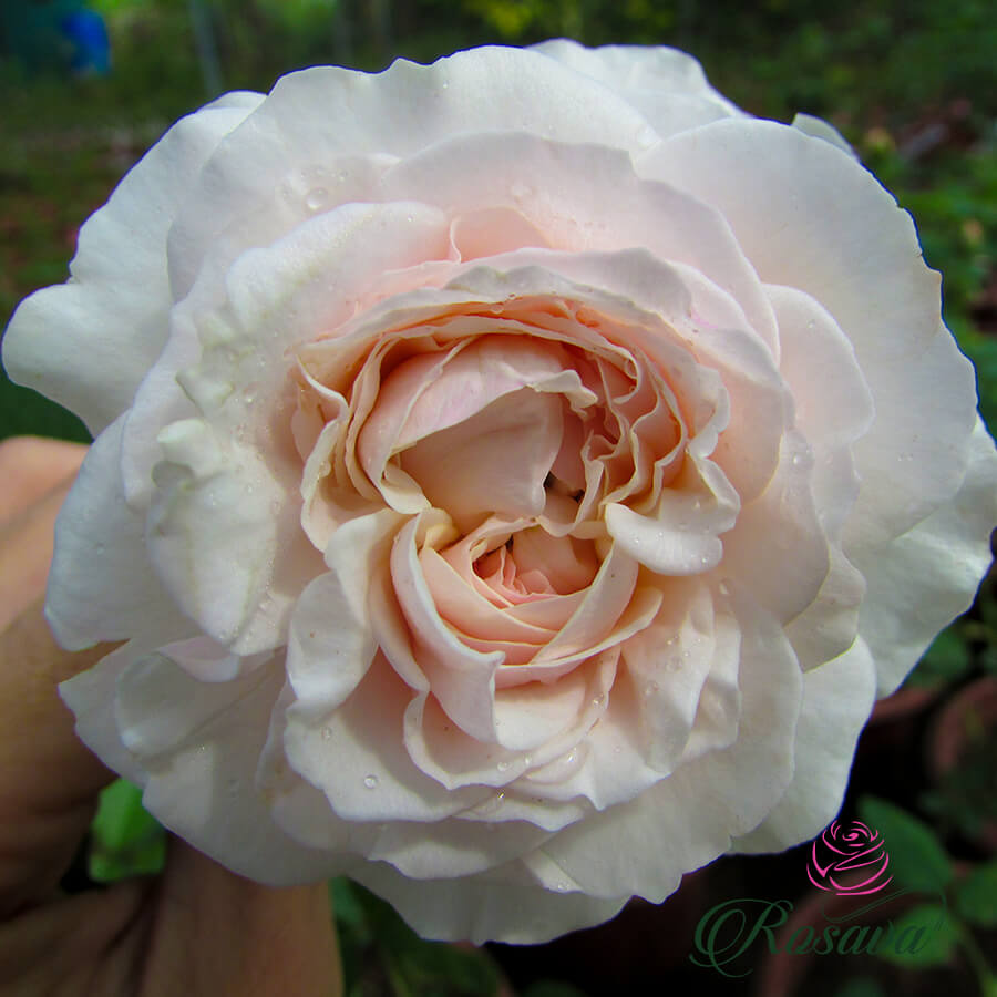 Hoa hồng ngoại De Cheryl rose