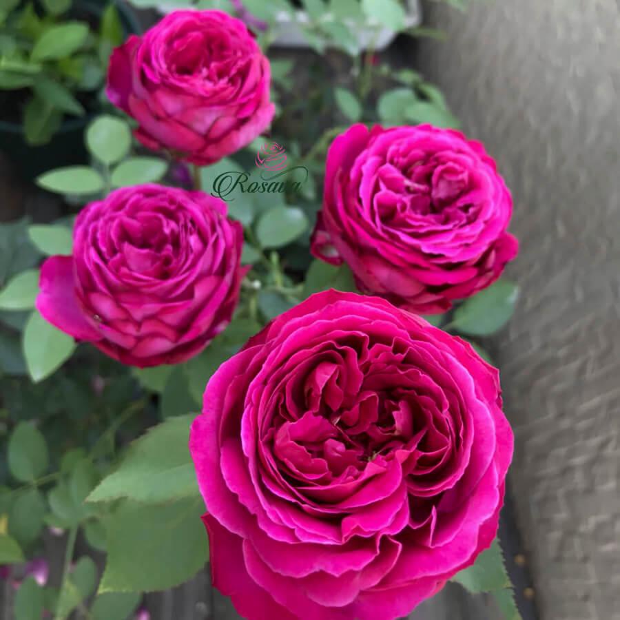 Hoa hồng ngoại Eve Fragrant Gar rose