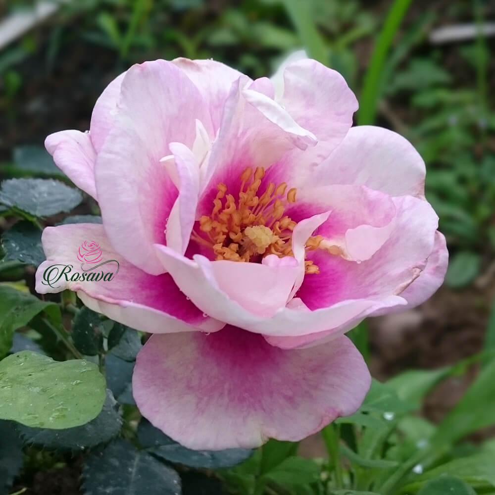 Hoa hồng ngoại Eyes For You rose