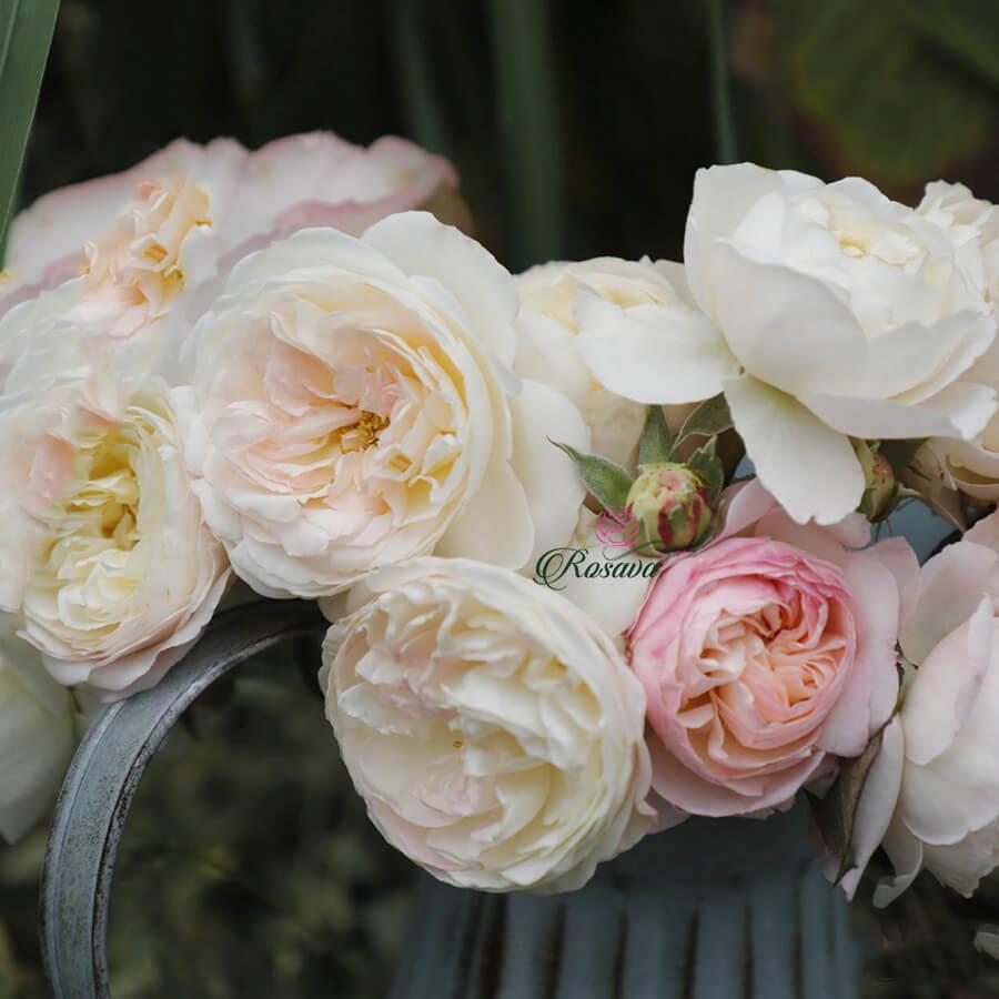 Hoa hồng ngoại Fair Bianca rose