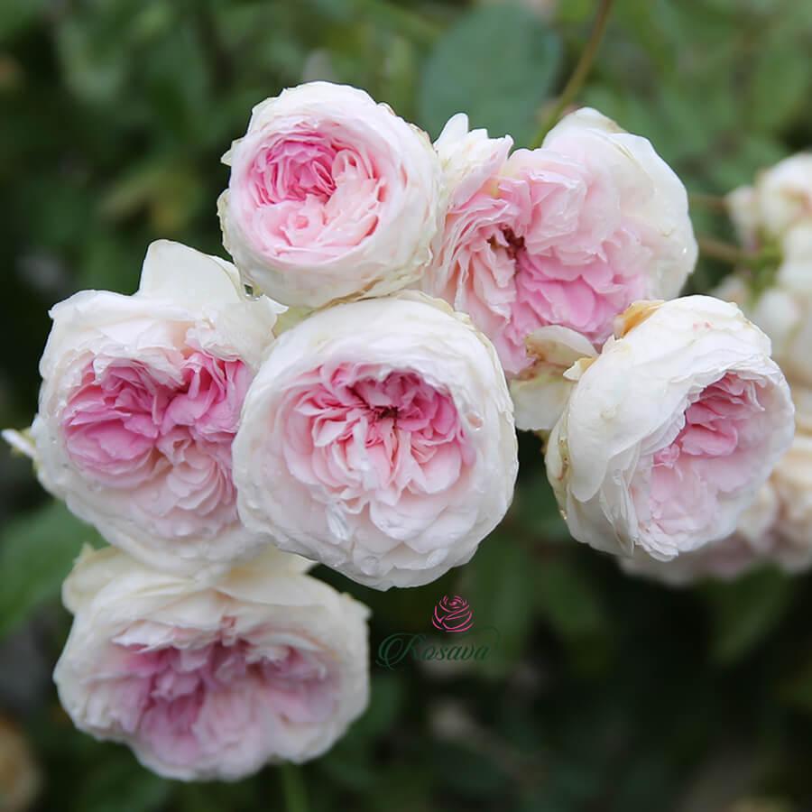 Hoa hồng ngoại Fun Jwan Lo rose