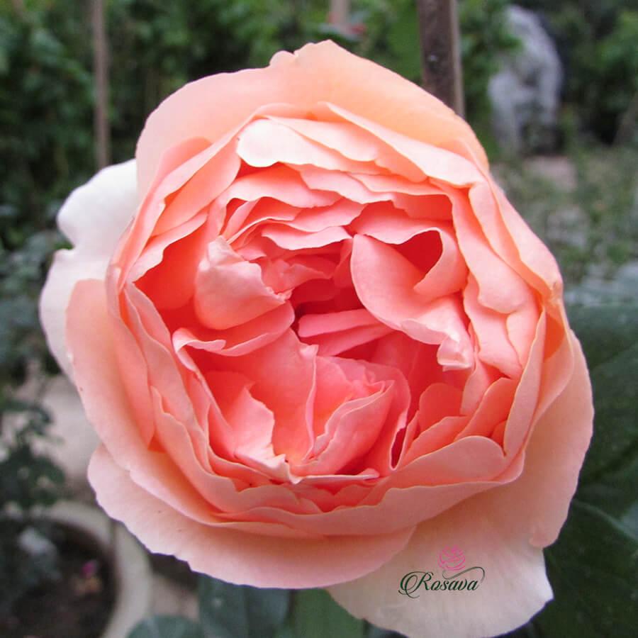 Hoa hồng ngoại Heaven On Earth rose