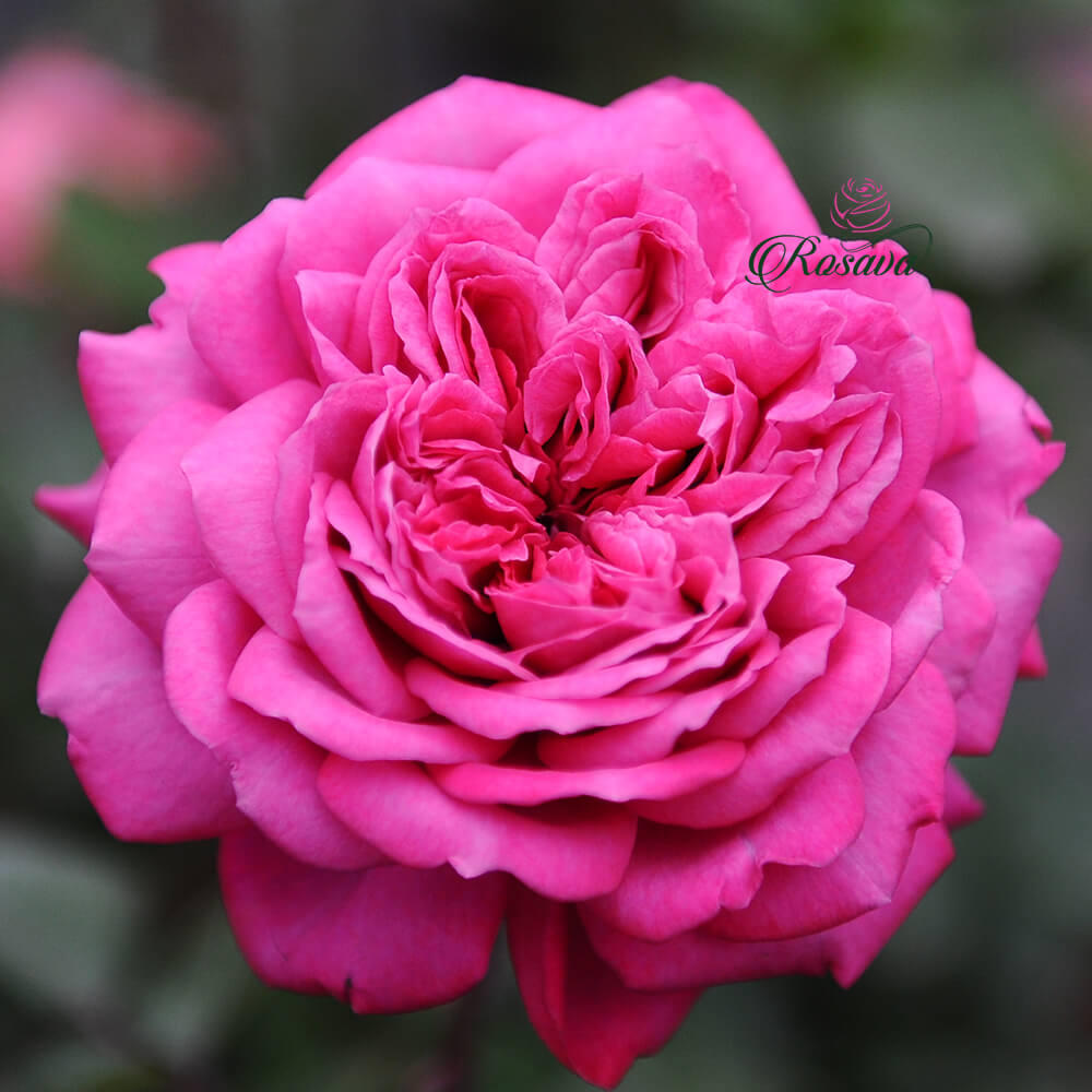 Hoa hồng ngoại Hector rose