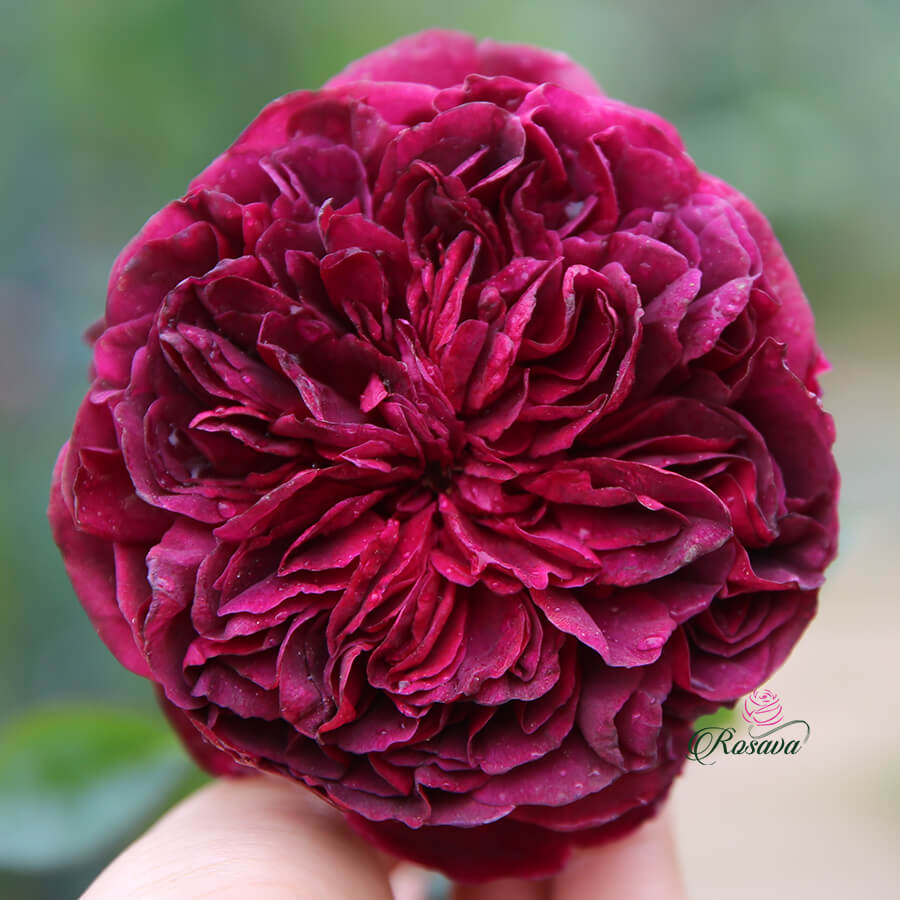 Hoa hồng ngoại Anh William Shakespeare 2000 rose