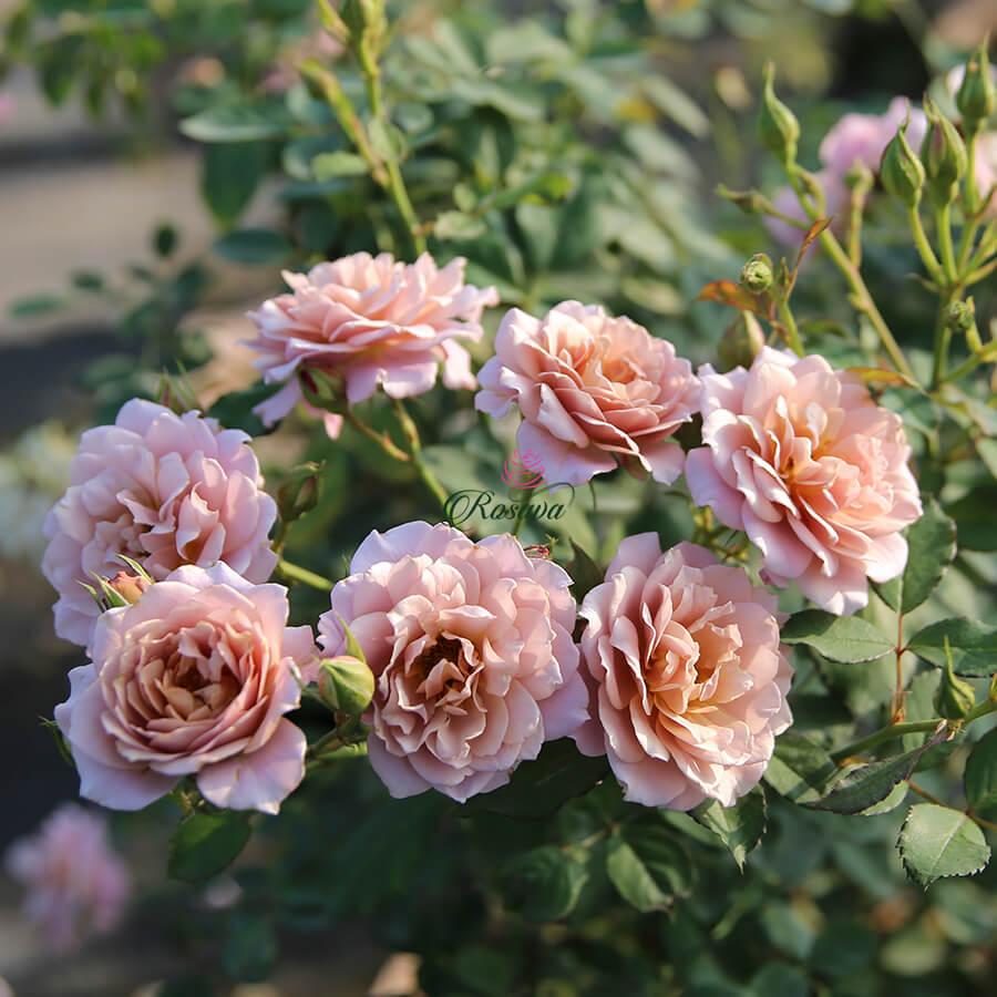 Hoa hồng Nhật Iori rose