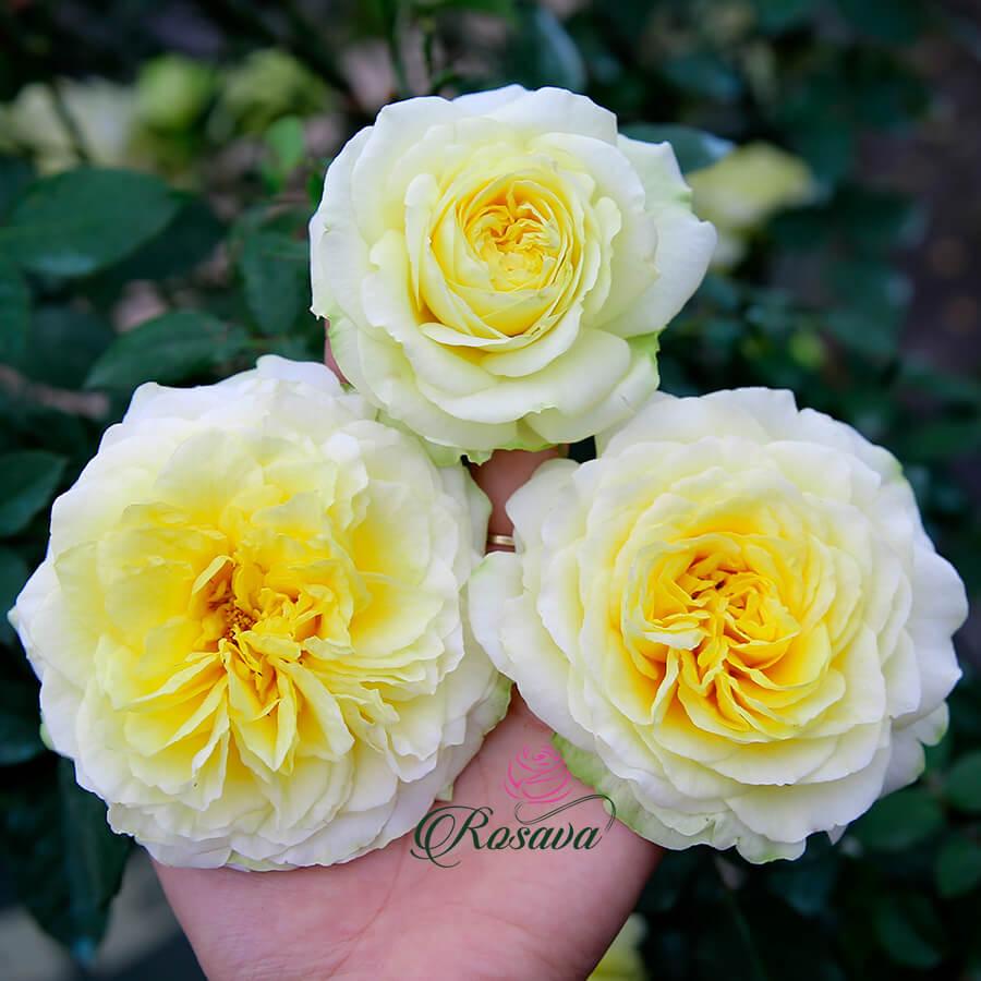 Hoa hồng ngoại Kaikyo rose