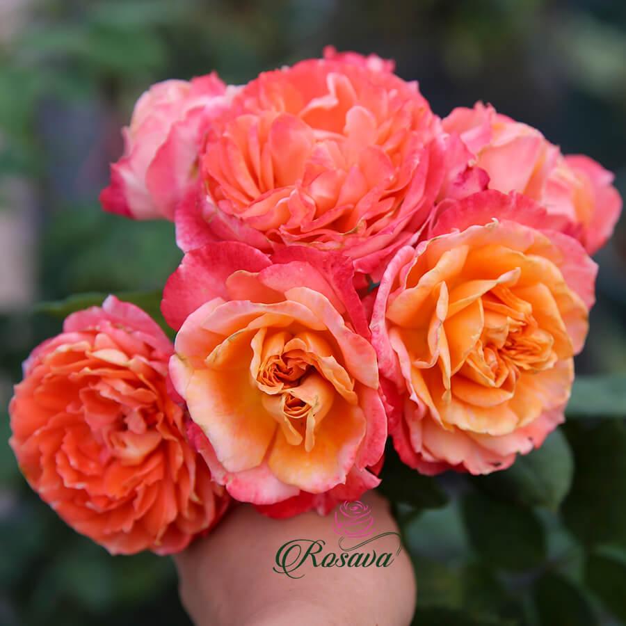 Hoa hồng Pháp La Chance rose