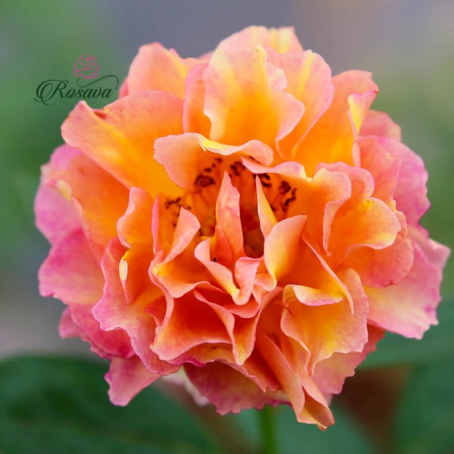 Hoa hồng Pháp La Parisienne rose