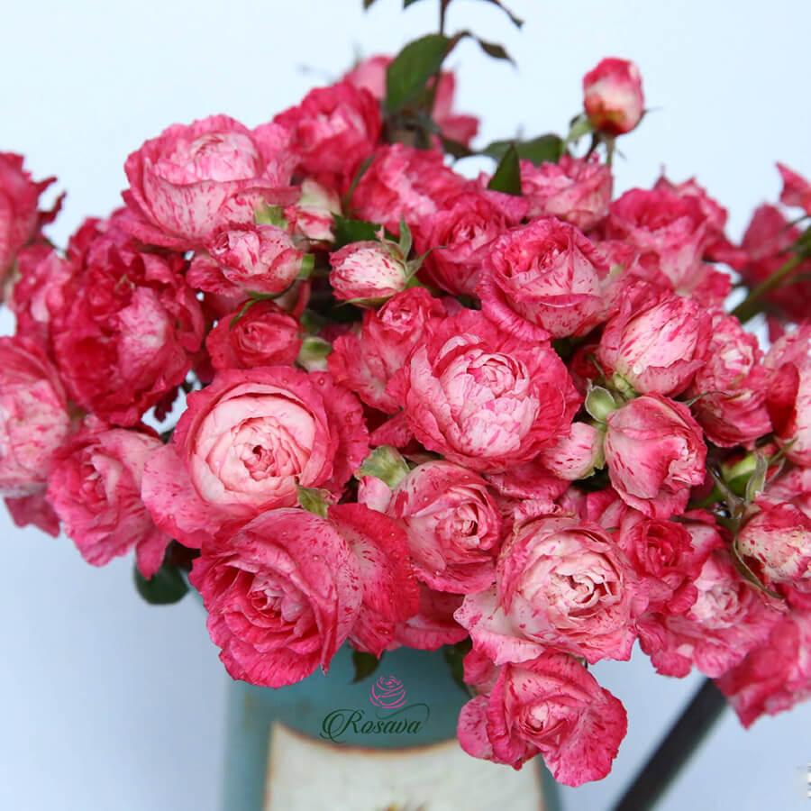 Hoa hồng Nhật Lady Candle rose