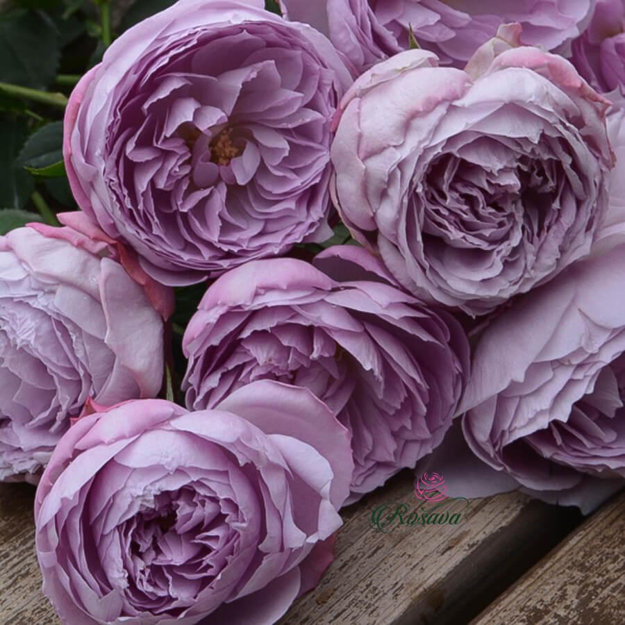 Hoa hồng ngoại Lapis Lazuli rose