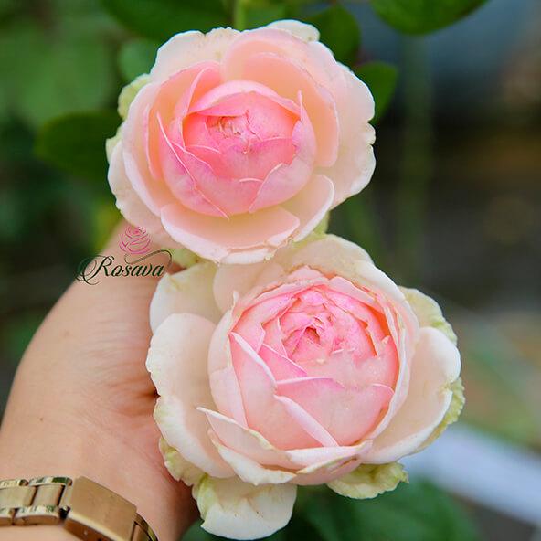 Hoa hồng Nhật M-Nostalgic Romance rose