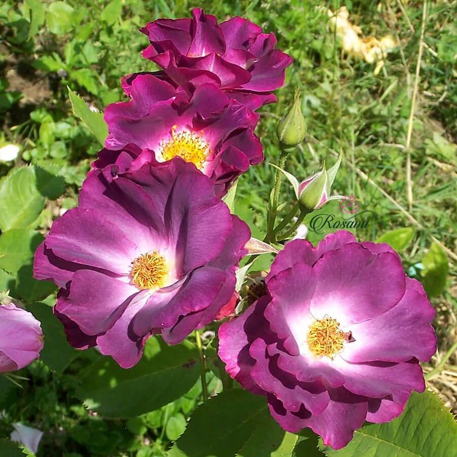 Hoa hồng ngoại Midnight Blue rose