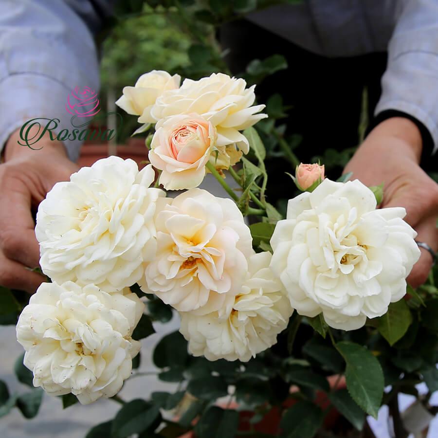 Hoa hồng ngoại Mini Juliet rose