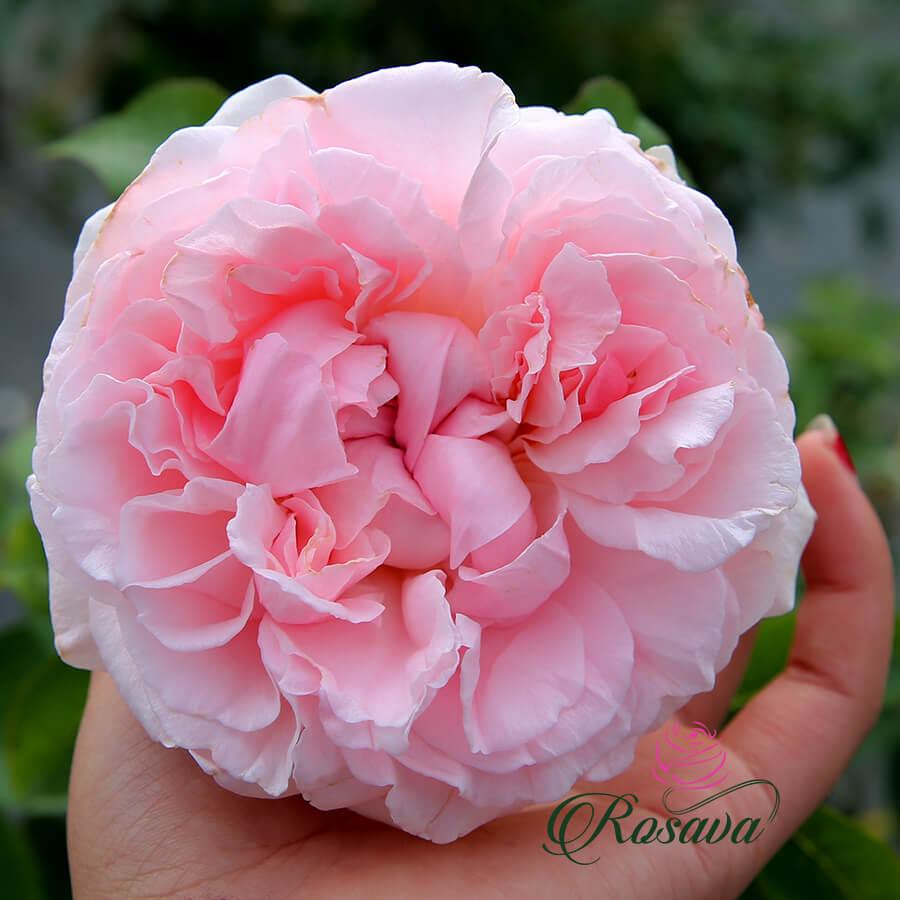 Hoa hồng ngoại Miranda rose