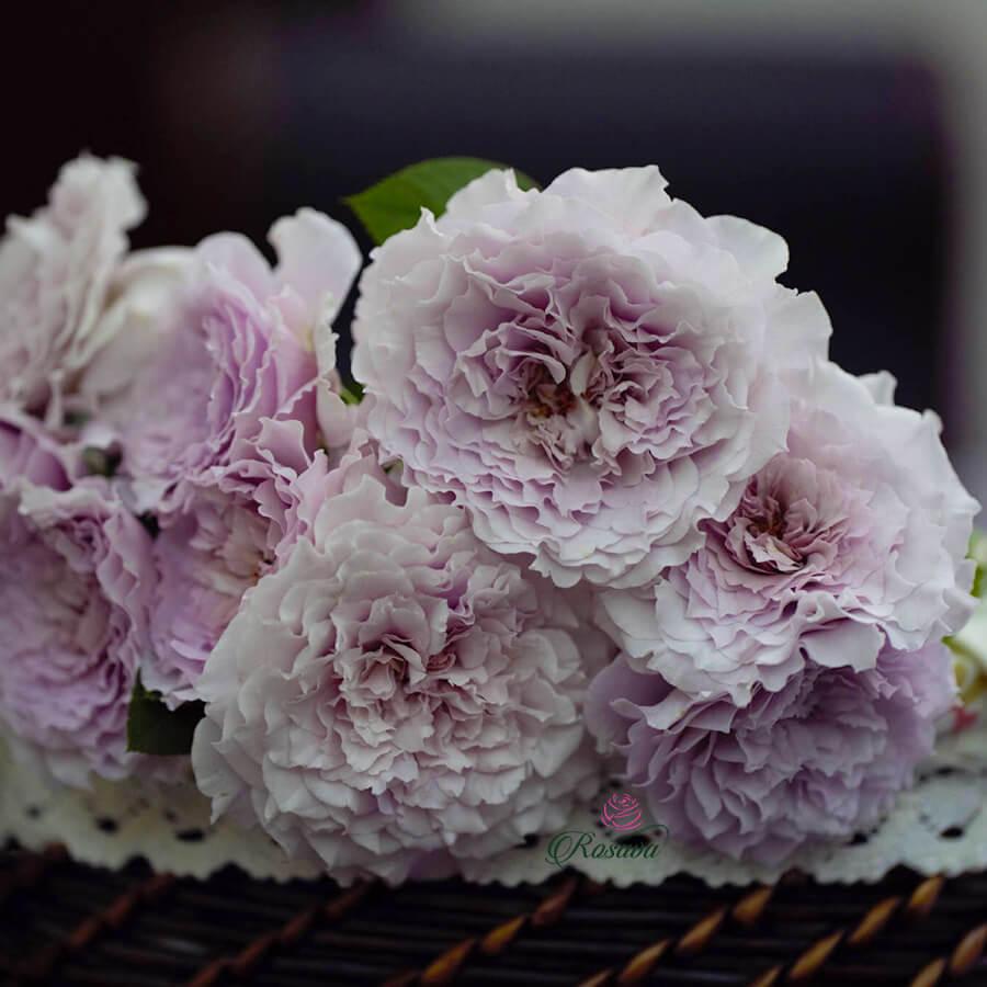 Hoa hồng ngoại New Wave rose