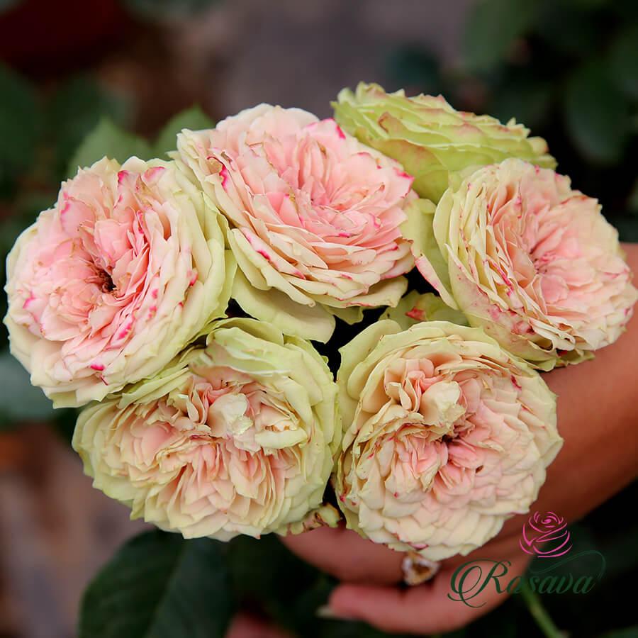 Hoa hồng ngoại Pompon Veranda rose