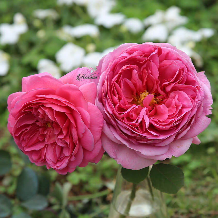 Hoa hồng Princess Alexandra Of Kent rose