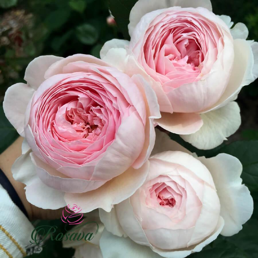 Hoa hồng ngoại Queen Of Sweden rose