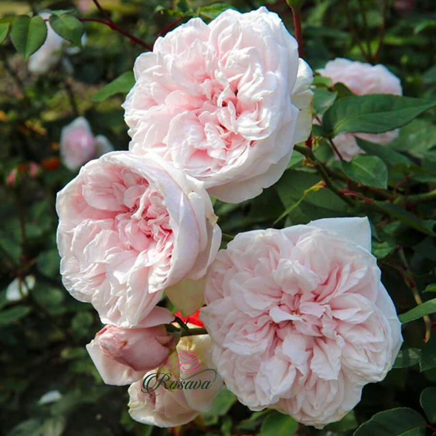 Hoa hồng ngoại Souvenir De La Malmaison rose