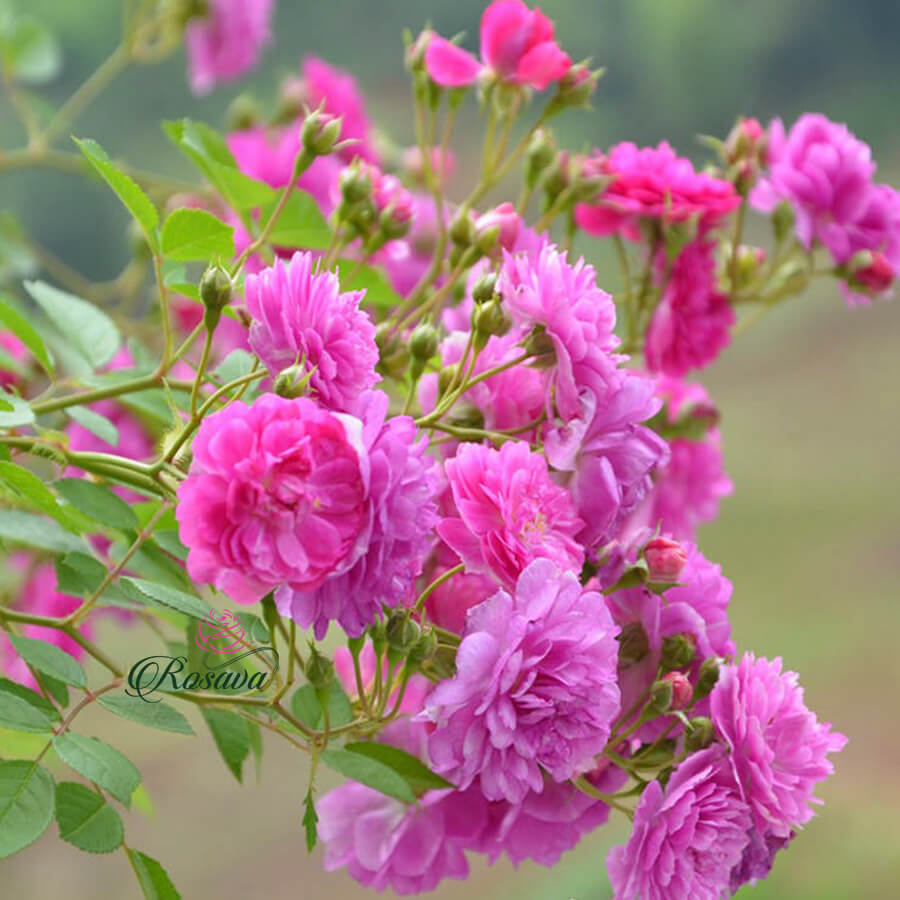 Hoa hồng ngoại Sweet Chariot rose