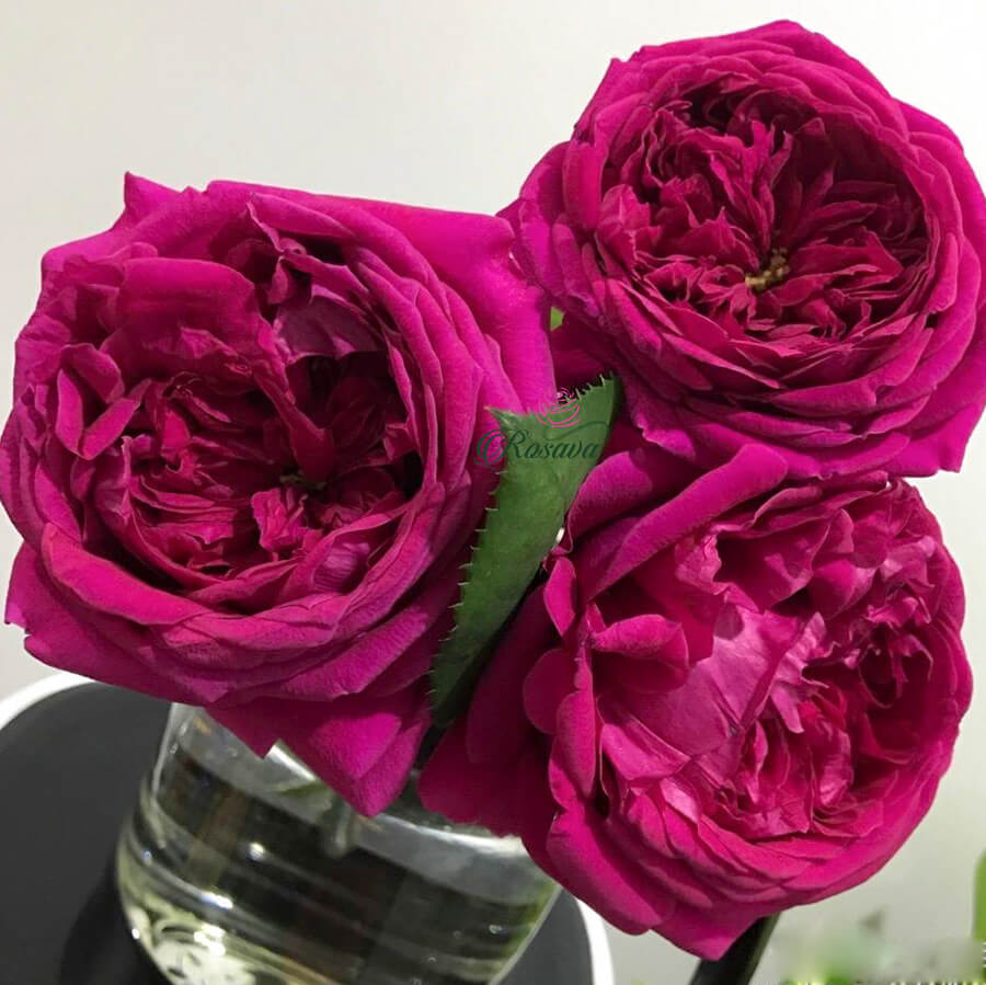 Hoa hồng ngoại The Prince rose