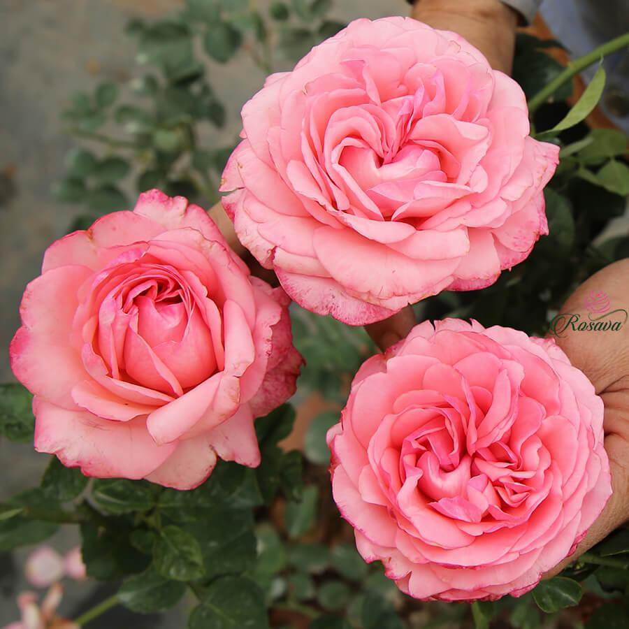 Hoa hồng ngoại Yves Bridal rose