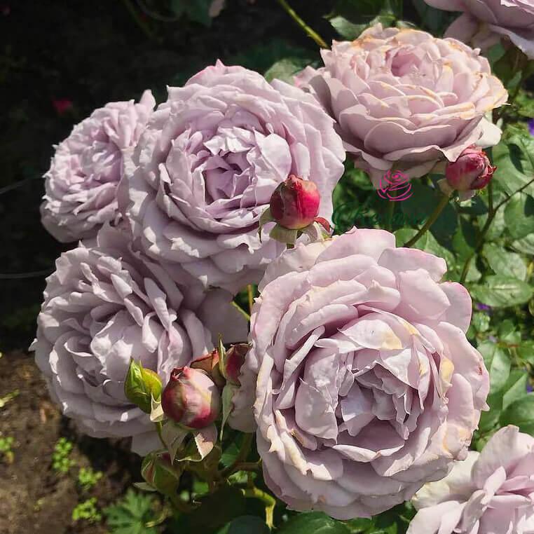 Hoa hồng Nhật Blue Storm rose