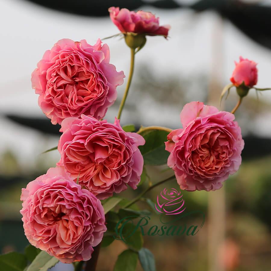 Hoa hồng Nhật Retowaru rose